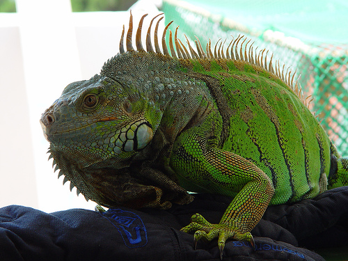 Iguana by Cy via Flickr Creative Commons License